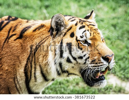 Siberian tiger (Panthera tigris altaica), also known as the Amur tiger, is a tiger subspecies inhabiting mainly the Sikhote Alin mountain region. Animal closeup scene. - stock photo