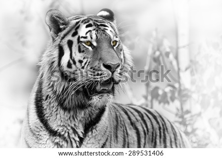 Siberian tiger portrait black and white - stock photo