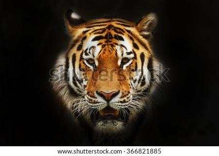 siberian tiger portrait black background stock photo