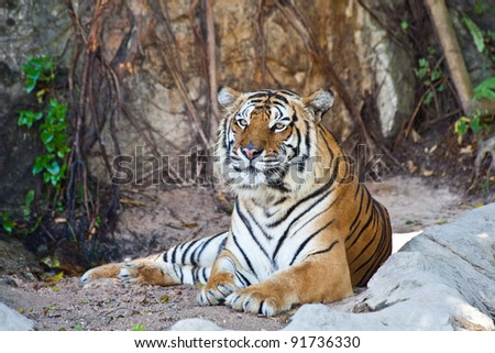 Siberian Tiger resting in a zoo - stock photo