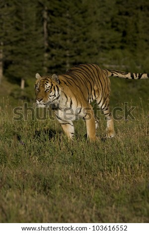 Siberian Tiger running at the edge of the woods - stock photo