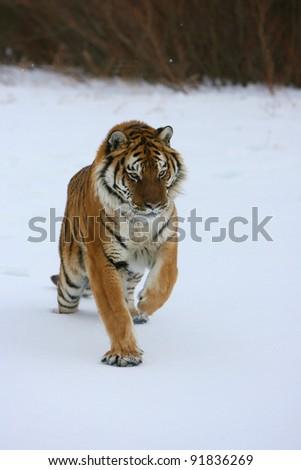 Siberian Tiger running in snow - stock photo