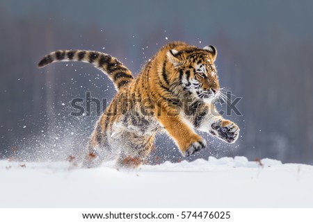 Siberian tiger running snow beautiful dynamic 574476025 siberian tiger running in snow beautiful dynamic and powerful photo of this majestic animal voltagebd Image collections
