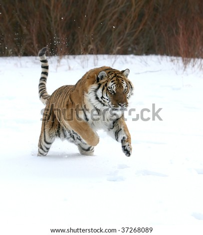 Siberian Tiger Running on New Snow - stock photo