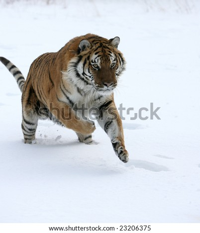 Siberian Tiger Running on Snow - stock photo