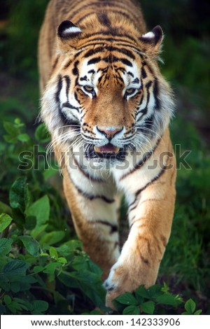 Siberian tiger stalking through undergrowth/Siberian Tiger/Siberian tiger stalking through undergrowth - stock photo
