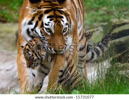 Siberian tiger (Tiger Panthera tigris altaica)  with a baby between her teeth - stock photo