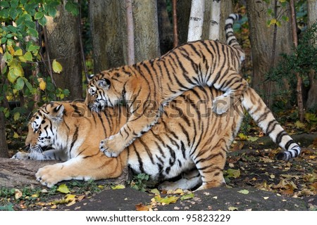 Siberian Tiger with young - stock photo