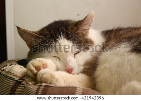 siberian tom domestic cat sleep on the cat bed close up photo - stock photo