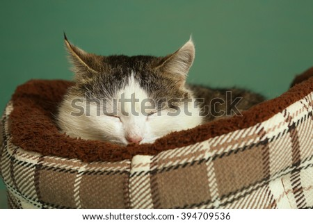 siberian tom male cat sleeping close up portrait in cozy special pet bed portrait on blue wall background - stock photo