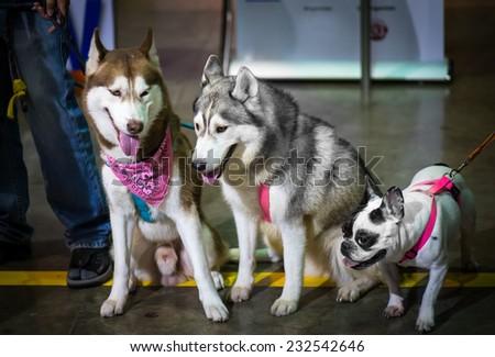 Siberian two and one bulldog. - stock photo