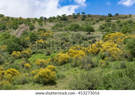 Sicilian inland with mountains, blooming yellow bushes and trees