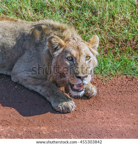 Sick African lion lying on the roadside in Crater Ngorongoro National Park - Tanzania, Eastern Africa - stock photo