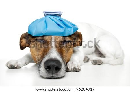 sick dog - stock photo