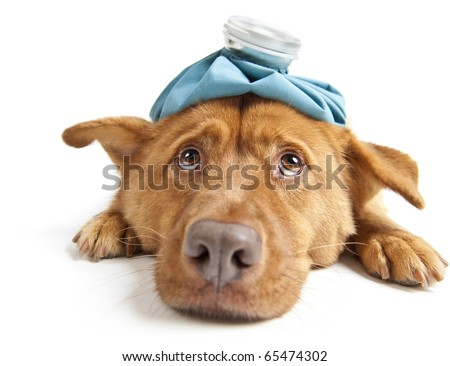 Sick dog facing wide angle camera on white background - stock photo
