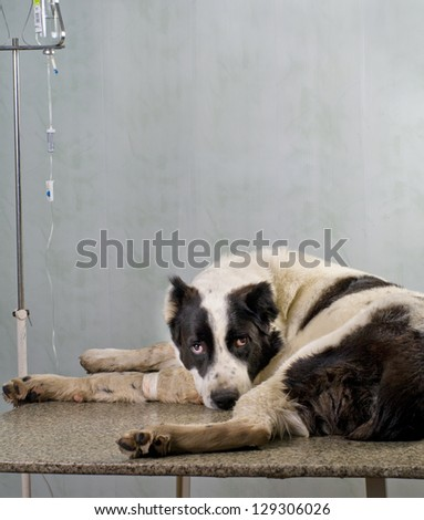 sick dog gets an injection in a clinic