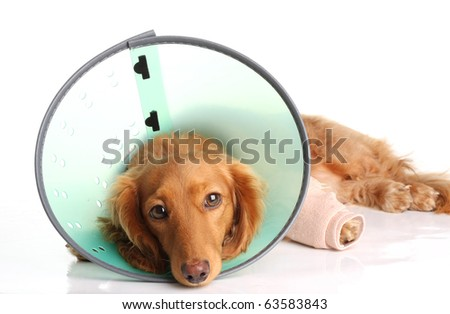 Sick dog wearing a funnel collar for an injured leg. - stock photo