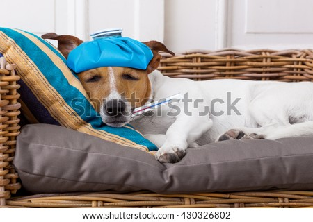 sick ill  jack russell  dog  in bed with pillow with thermometer in mouth ,high  fever suffering pain  - stock photo
