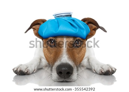 sick ill jack russell dog  isolated on white background with ice pack on head - stock photo