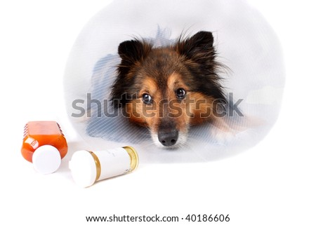 Sick Sheltie or Shetland sheepdog with dog cone collar and medicine bottles in the foreground - stock photo