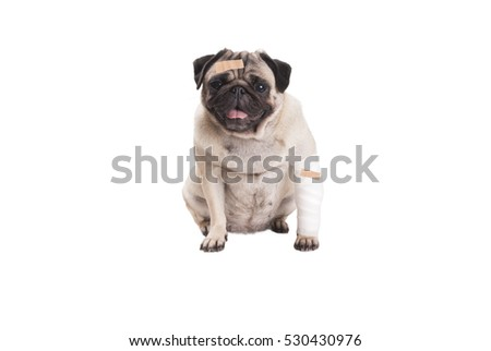sick sitting cute pug puppy dog with plaster and bandage, isolated on white background