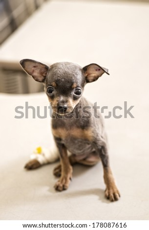 Sick Toy terrier puppy in animal hospital  - stock photo