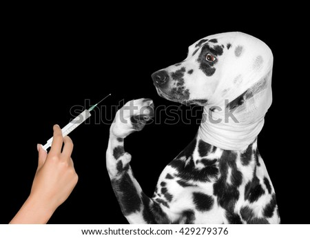 sick wounded dog is afraid of injection -- isolated on black - stock photo