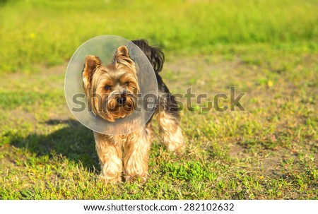 Sick Yorkshire terrier wearing a funnel (protective) collar, on nature background. Injured petite dog wearing protective dog collar outdoors. Dog for a walk after an illness. Rehabilitation. Sick dog - stock photo