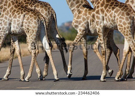 Side angle view of the bodies and legs of a herd of giraffe, Giraffa camelopardalis, crossing a road in the Kruger National Park, South Africa. - stock photo