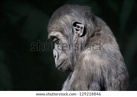 side face portrait of sad young gorilla
