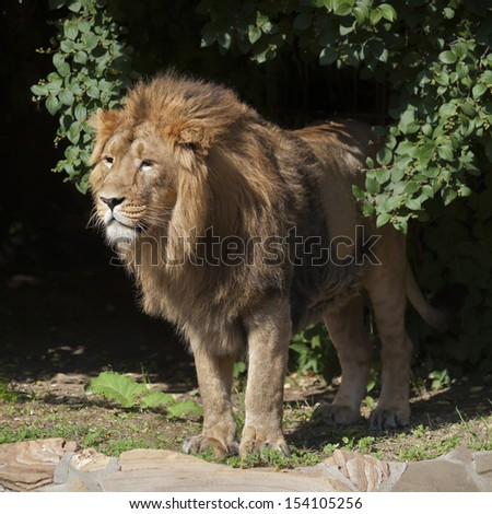 Side full length portrait of a young Asian lion. Square image. The head with splendid mane of the King of beasts. Wild beauty of the biggest cat. The most dangerous and mighty predator of the world. - stock photo