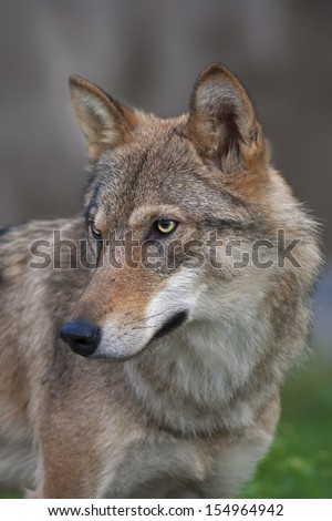 Side look of a young, two year old, european wolf female. Side face portrait of a forest dangerous beast, Canis lupus lupus, on blur background. Beauty of the wildlife. - stock photo