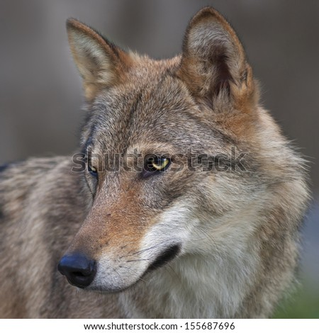 Side look of a young, two year old, european wolf female. Side face portrait of a forest dangerous beast, Canis lupus lupus. Beauty of the wildlife. Square image. - stock photo