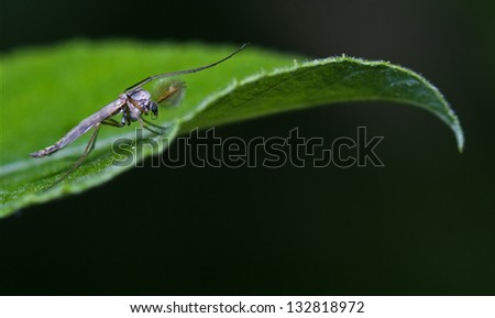 side of wild fly  chironomidae chironomus riparius culicidae culex mosquito  on a green leaf