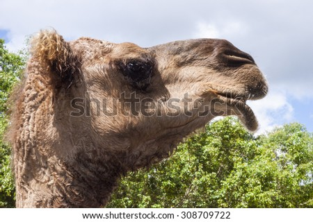 Side picture of an adult camel's head with trees and sky in the background - stock photo