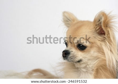 Side portrait of a beautiful purebred long hair chihuahua - stock photo
