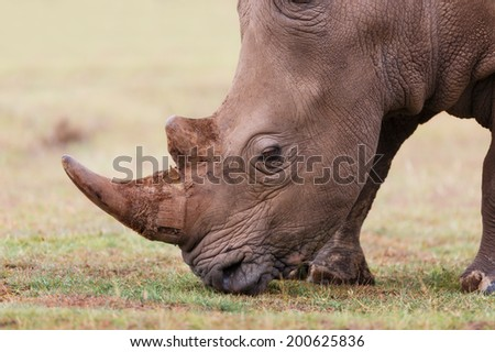 Side portrait of a grazing White Rhino in Lake Nakuru National Park, Kenya - stock photo