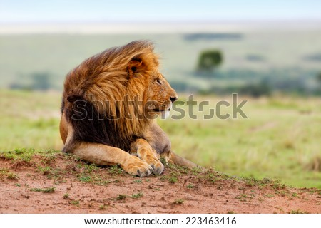 Side portrait of beautiful big Lion Lipstick of 4 Km Coalition on termite hill with the Masai Mara landscape in the background - stock photo