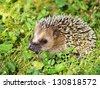Side portrait of hedgehog on green grass. - stock photo