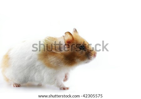 Side profile of a female Syrian hamster isolated in white background - stock photo