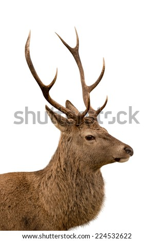 Side profile of Scottish red deer stag isolated on white
