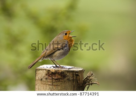 Side profile shot of a garden robin singing it's song against an out of focus natural green background.  It is stood on a log. - stock photo