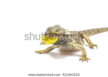 Side view od the agama lizard is standing on the light background. The yellow blossom of dandelion is in its mouth.  Everything is on a light background. - stock photo