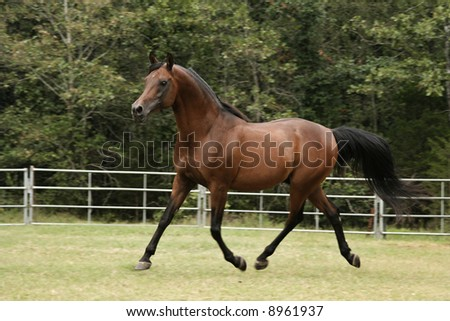 Side view of a bay arabian stallion trotting - stock photo
