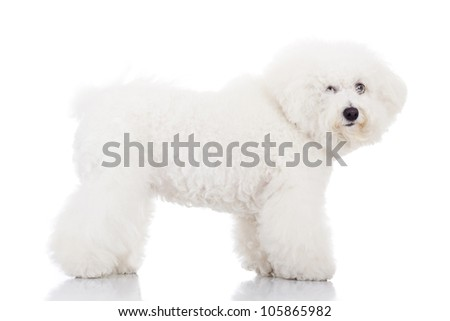 side view of a beautiful bichon frise puppy dog standing on a white background - stock photo