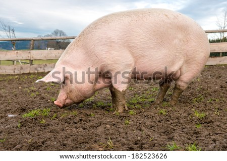 Side view of a big pig on a farm - stock photo