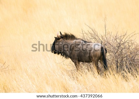 Side view of a blue wildebeest (Connochaetes taurinus) standing in dry tall grass in african savanna. - stock photo