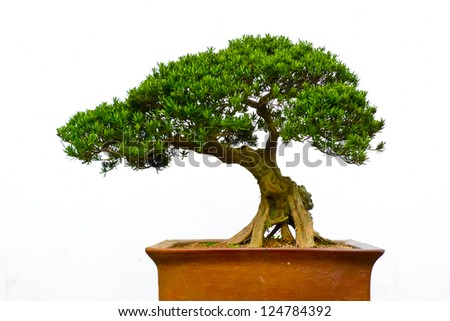 Side view of a bonsai tree against a white wall - stock photo