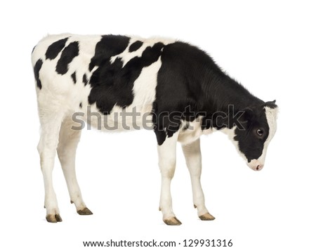 Side view of a Calf, 8 months old, looking down in front of white background