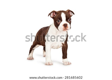 Side view of a cute little seven week old Boston Terrier puppy dog standing at an angle
